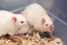 Two Himalayan pet rats available for adoption. The Wonderful World of Rats, San Mateo, California, USA. - Photo #6047