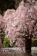 Japanese cherry tree at Filloli Gardens. - Photo #24547