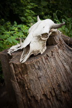 Skull on tree stump. Living History Farms, Iowa. - Photo #32947