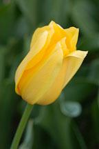 Tulip 'Big smile', Tulipa. - Photo #2947