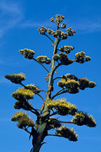 Giant flowering agave. California, USA. - Photo #1248