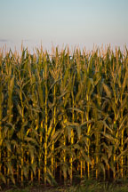 Corn stalks. Nevada, Iowa. - Photo #33049