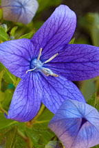 Platycodon grandiflorus. Balloon flower. - Photo #1349