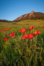 Red poppies in Chautauqua Park meadow. Boulder, Colorado. - Photo #33149