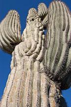 Saguaro Cactus, Cereus giganteus - Photo #5349