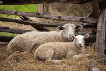 Sheep in the Pioneer farm. - Photo #32949