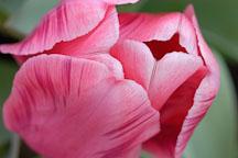 Tulip 'Menton', Tulipa. - Photo #2949
