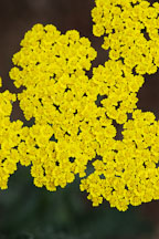 Achillea 'moonshine'. Yarrow - Photo #3774