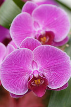 Phalaenopsis. Orchid. Orchidaceae. - photos & pictures - ID #3487