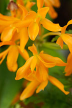 Cattleya aurantiaca.Orchid. Orchidaceae. - photos & pictures - ID #3502