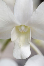 Orchid. Orchidaceae. - photos & pictures - ID #3510