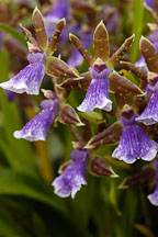 Zygopetalum. Orchidaceae. - photos & pictures - ID #3526