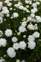 Chrysanthemum maximum, 'Aglaya'. - Photo #3726