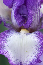 Iris. - Photo #3251