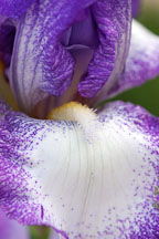 Iris. - Photo #3262