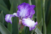 Iris. - Photo #3258