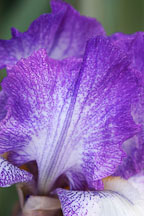 Iris. - Photo #3256
