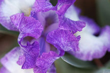 Iris. - Photo #3253