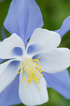 Rocky mountain columbine flower. - Photo #3735