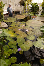 Water lilies at the Conservatory of Flowers. San Francisco, California, USA. - Photo #3549