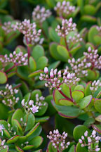 Jade Plant. Crassula ovata. - Photo #5205