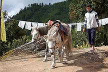 Horses provide rides up the trail to Taktshang. Paro, Bhutan. - Photo #24305