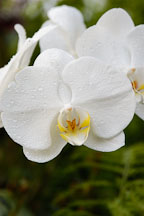 Phalaenopsis. Orchid. Orchidaceae. - Photo #3505