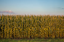 Corn growing in Iowa. - Photo #33050