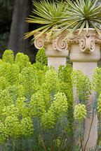 Euphorbia c. wulfenii. Bruce's dwarf. - Photo #5750