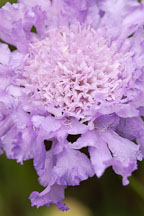 Pincushion flower, Scabiosa caucasica 'Fama'. - Photo #3750