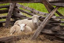 Sheep in pen. - Photo #32950