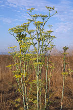 Anethum graveolens. Dill. Irvine, California. - Photo #51
