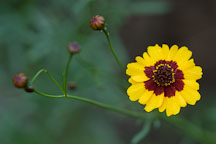 Coreopsis tinctoria. Plains coreopsis. - Photo #1951