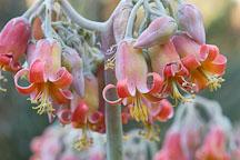 Flowering succulent. - Photo #1351