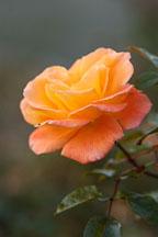Rose 'apricot nectar' - Photo #4951