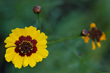 Coreopsis tinctoria. Plains coreopsis. - Photo #1952