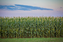 Corn field at dusk. - Photo #33052