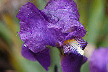 Purple Iris (rhizomatous and bearded). - Photo #2352