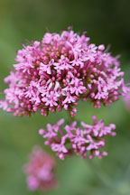 Centranthus ruber. Red valerian. - Photo #3753