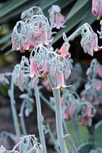 Flowering succulent. - Photo #1353