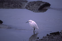 Snowy Egret, Egretta thula. Palo Alto Baylands Nature Preserve, California. - Photo #753
