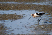 American avocet, Recurvirostra americana. Palo Alto Baylands, California. - Photo #1354