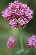 Centranthus ruber. Red valerian. - Photo #3754