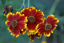 Coreopsis tinctoria. Plains coreopsis. - Photo #1954