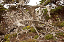 Fallen and weathered cypress trees. Point Lobos, California. - Photo #26954