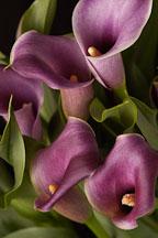 Calla Lily. Zantedeschia aethiopiea - Photo #5854