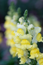 Sonnet Yellow Snapdragon, Antirrhinum majus. - Photo #2054