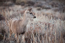 Black-tailed deer at Point Lobos State Reserve, California. - Photo #32155