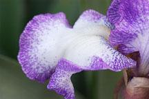 Iris. - Photo #3255