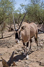 Oryx, Gemsbock Antelope. - Photo #17555
